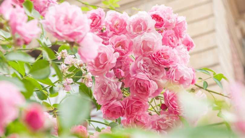 Burbank Rose