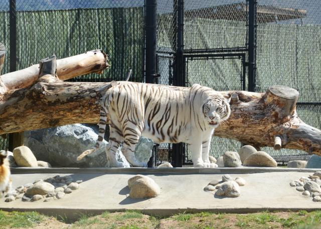 Monterey Zoo Tiger