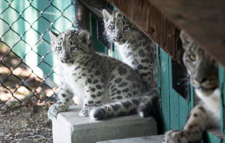 Snow Leopards, Assiniboine Park Zoo, Winnipeg