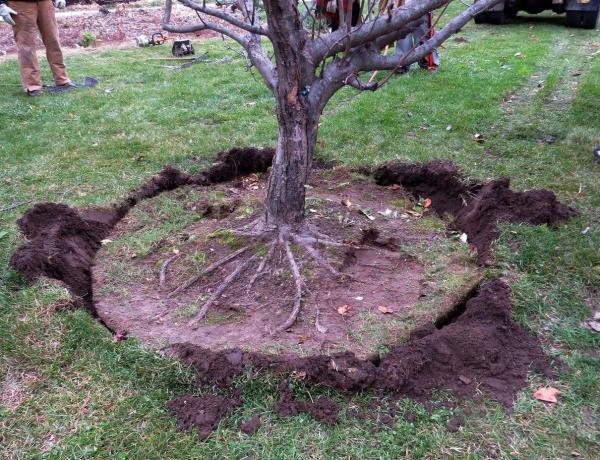Rambo Apple Tree settled in