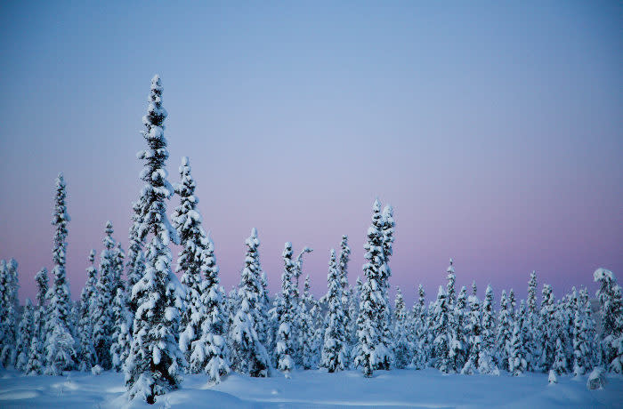 Solstice - snow covered trees