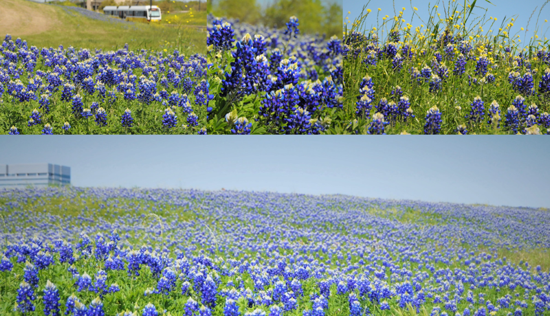 Rochelle and Riverside Bluebonnets