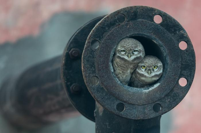 Two owls nest together