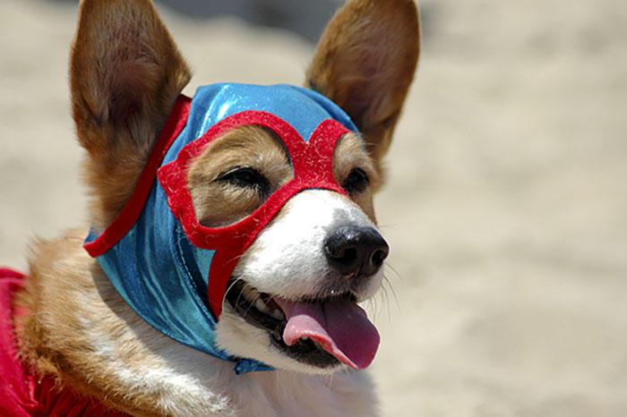 So Cal Corgi Beach Day, corgi in superhero costume