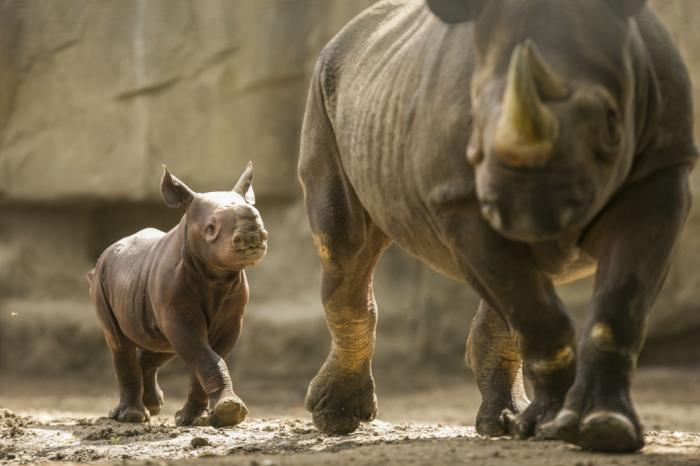 Baby rhino at Lincoln Park Zoo Chicago