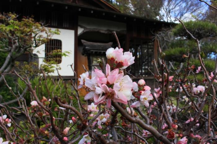 Cherry blossoms are in full bloom at the San Mateo Central Park's Japanese Tea Garden.