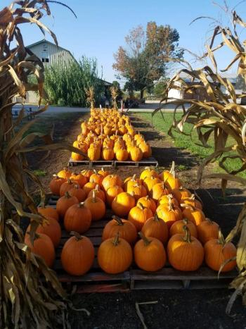 Jacquemin Farms pumpkins
