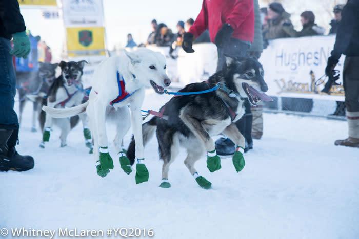 Happy Sled Dogs - Yukon Quest - Fairbanks, Alaska