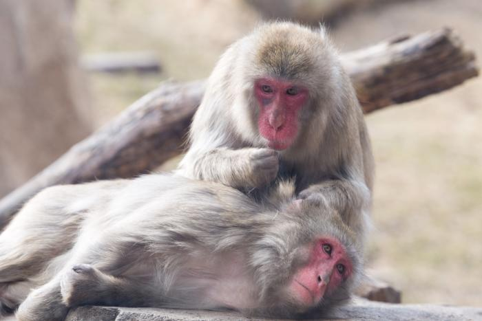 Snow monkeys at Lincoln Park Zoo