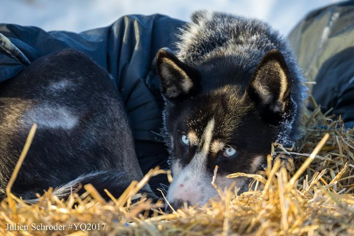 Yukon Quest Sled Dog Resting