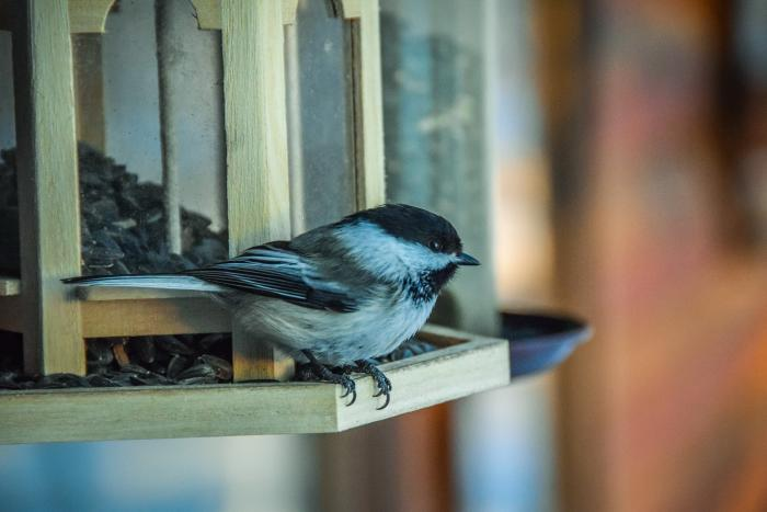 close-up of a chickadee at a bird feeder