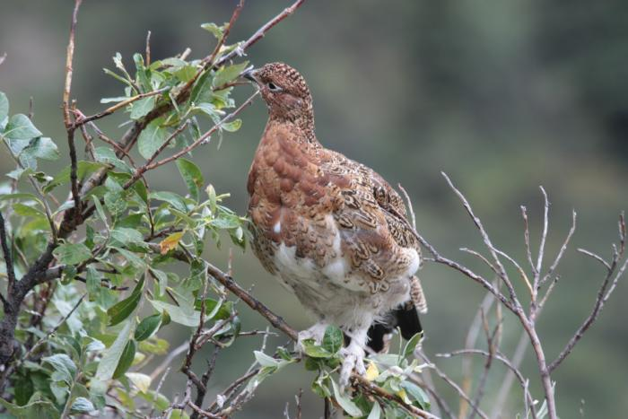 a willow ptarmigan bird perched on a willow branch