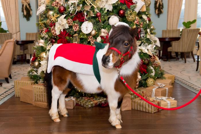 Cupcake the Miniature Pony in holiday attire at Salamander Resort and Spa