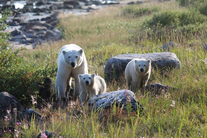 Mother polar bear and two cubs on the tundra near Churchill, Manitoba