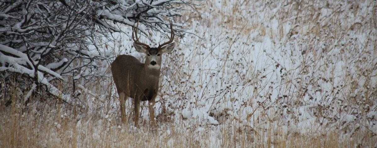 A buck grazes in Steamboat Springs area in the fall.