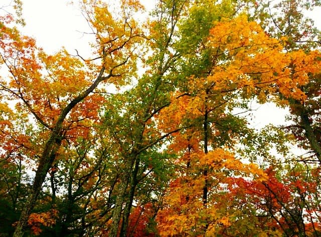 Fall Trees Canopy - Fall Photo