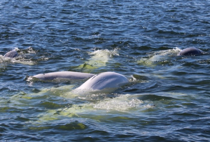 A crowd of belugas feed near Churchill, Manitoba