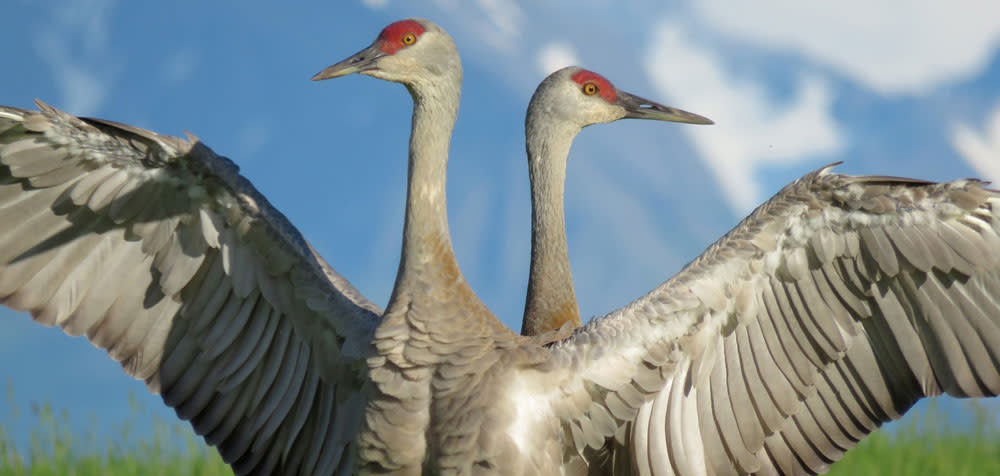 Sandhill Cranes are spotted in Steamboat Springs in the Fall