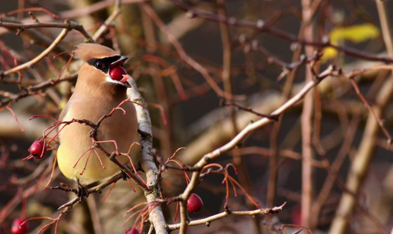 Waxwing bird with berry by Quentin Furrow
