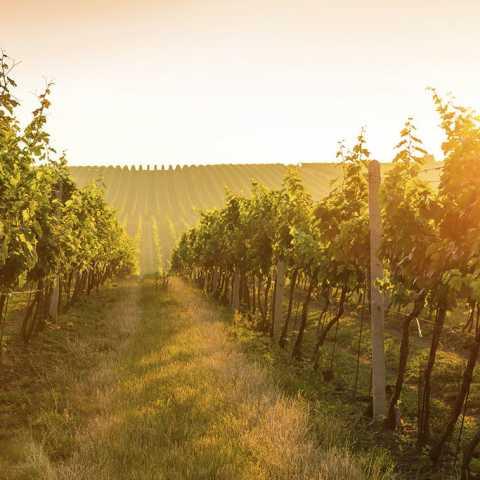 Vineyards - Avensole Winery Temecula