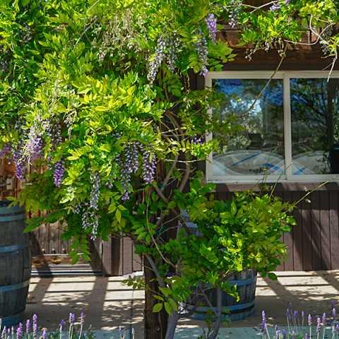 Lumiere Winery Wisteria