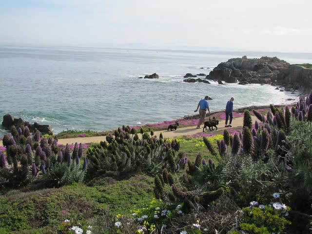 A couple walking their dogs during spring along the Pacific Grove shore