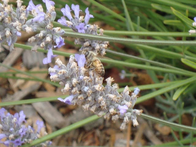 Honey bees pollinate the lavender plants
