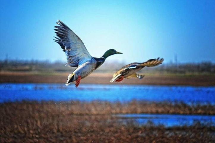 Ducks in Flight | SWLA Tours, Inc.