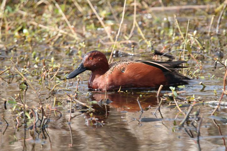 Cinnamon Teal | Birding in Lake Charles
