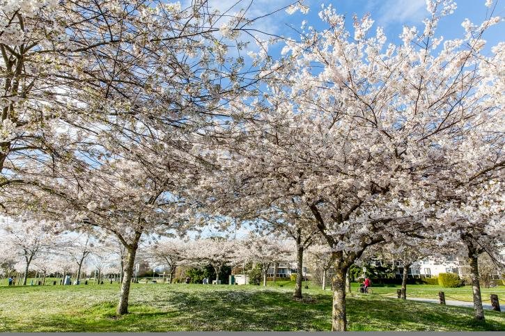 Cherry Trees at Garry Point Park