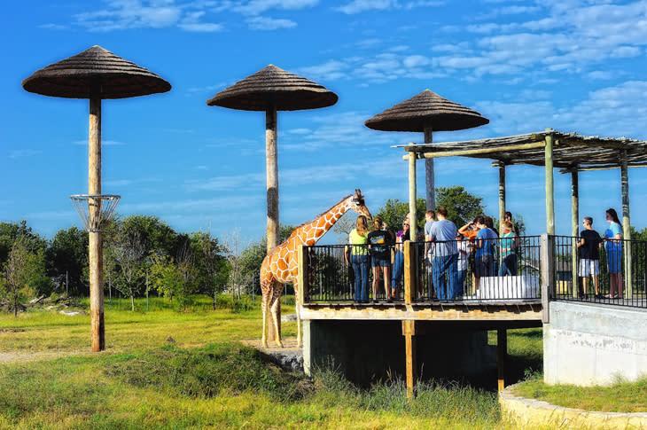 Tanganyika - Giraffes