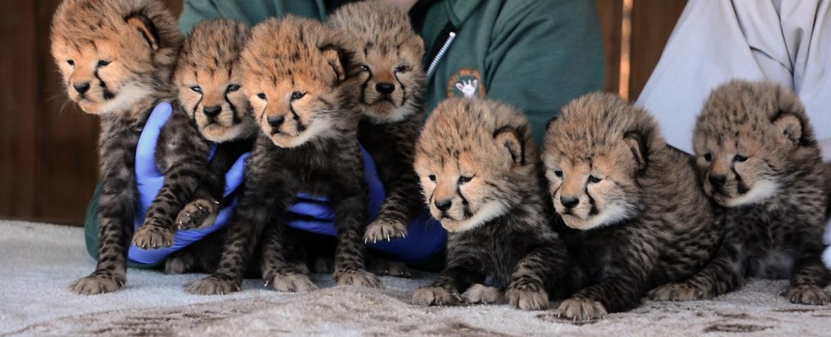 Cheetah Cubs Metro Richmond Zoo