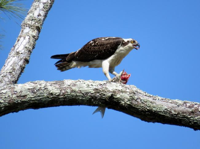 Osprey by Vicki Sensat