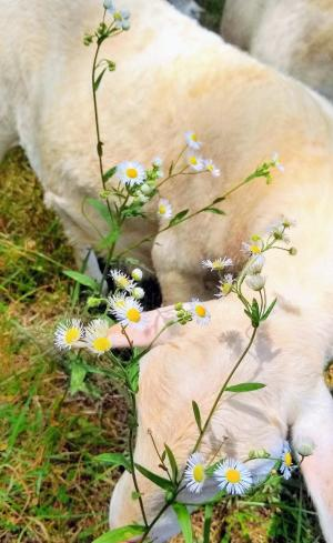 Lamb in field with daisies