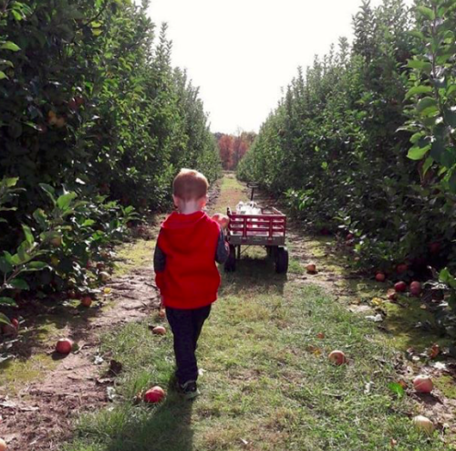 A little boy walking down a row of hedges with a wagon in front of him