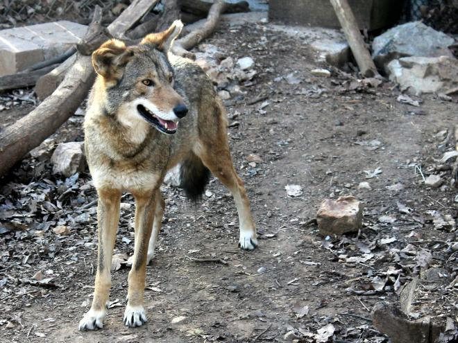 Red Wolf - Mill Mountain Zoo