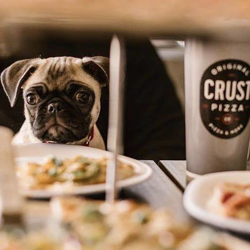 Pug dining at Crust Pizza