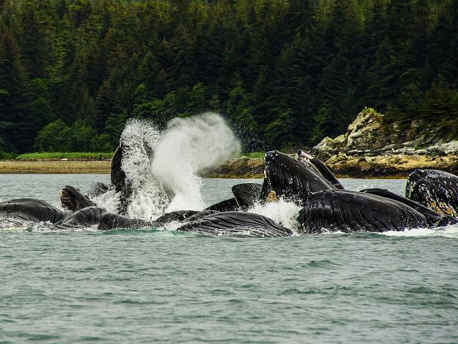 whales feeding