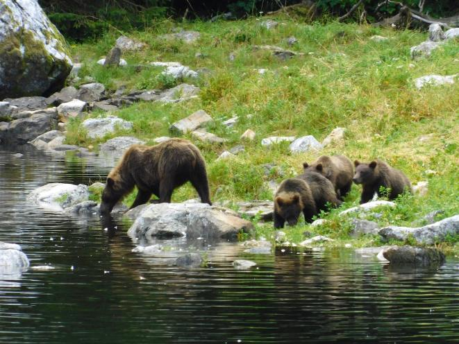 Watching a bear and cubs by skiff - UnCruise Adventures