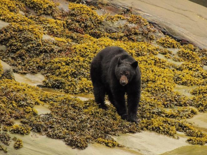 Black Bear on Shore