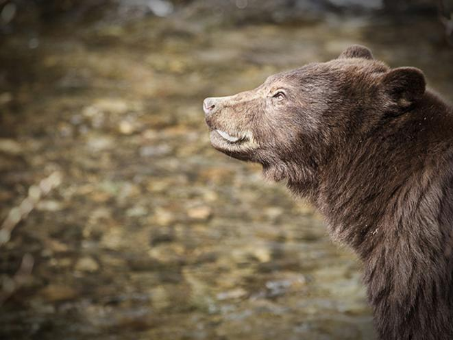 Bear Sightings from the Trail Gastineau Guiding Co