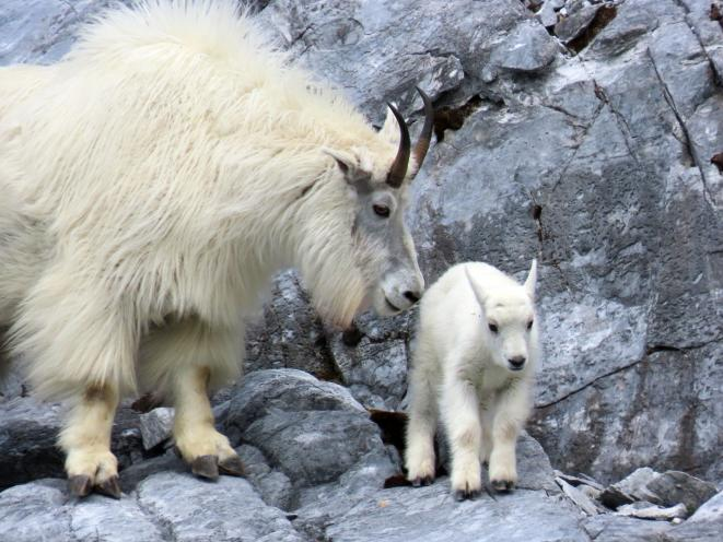Mother goat with her kid