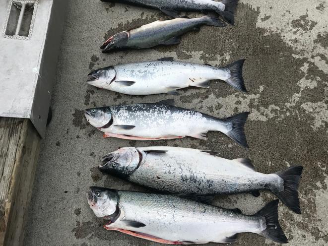 wild silver salmon