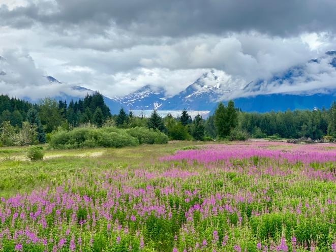 Fireweed at Glacier