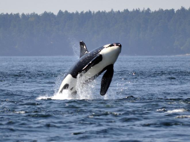 Orca breach!