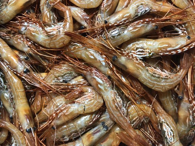 Sidestripe Shrimp