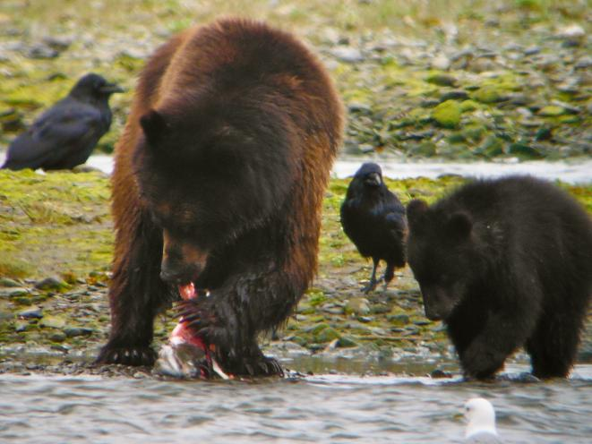 Pack Creek Bears