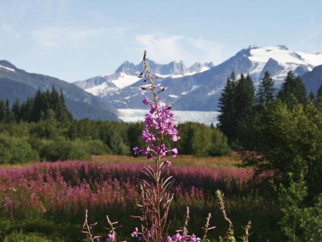 Fireweed and the Glacier