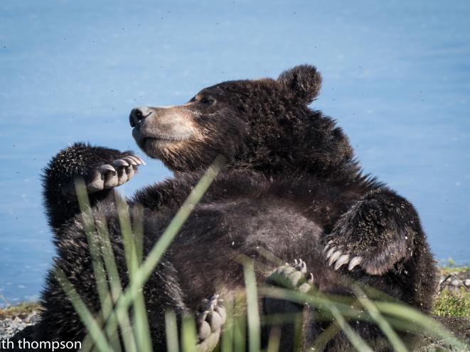 Lounging bear