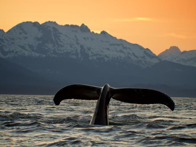 APT Whale Tail